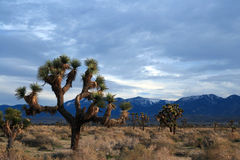 Cloudscape de Joshua Tree dans le haut désert du sud de la Californie près de Littlerock la Californie Photo stock