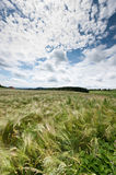 Cloudscape over cornfield Royalty Free Stock Photography