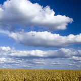Cloudscape over wheat field Royalty Free Stock Photos