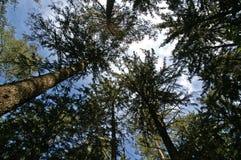 cloudscape świerczyny drzewa obraz stock