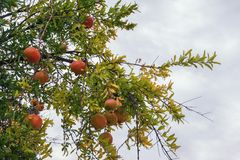 Cloudy autumn day. Pomegranate tree Punica granatum with ripe fruits. Against the sky Royalty Free Stock Photo