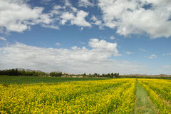 Cloudy canola flower. Cloudy  farmland in  Qinghai of CHINA Royalty Free Stock Images