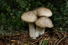 Cloudy clitocybe, Clitocybe nebularis mushrooms. In a nordic forest- Eastern Finland Royalty Free Stock Photos