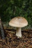 Cloudy clitocybe, Clitocybe nebularis mushrooms. In a nordic forest- Eastern Finland Stock Images