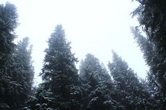 Fur-trees in the forest in violet colors. Beams of lights in spruce forest Royalty Free Stock Photography
