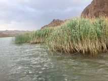 Cattails on the Colorado River Royalty Free Stock Images
