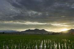 Cloudy day and ricefield Stock Images