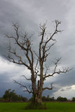 Cloudy with a dead tree. Standing dead trees and dry in the middle of rice fields and cloudy Stock Photos