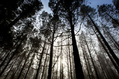 Cloudy Forest. In the mountains on the island of La Palma in Spain Royalty Free Stock Images