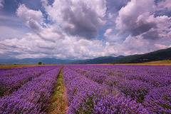 Cloudy landscape with lavender in the summer at the end of June. Contrasting colors, beautiful clouds, dramatic sky. royalty free stock image