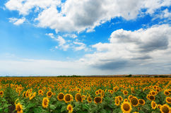 Cloudy daily landscape in the middle of summer. Sunflower field near the town of Burgas, Bulgaria. Daily landscape in the middle of summer. Sunflower field near Royalty Free Stock Images