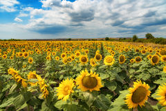 Cloudy daily landscape in the middle of summer. Sunflower field near the town of Burgas, Bulgaria. Daily landscape in the middle of summer. Sunflower field near Stock Image