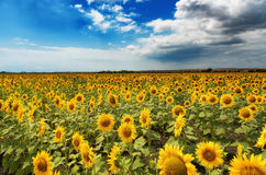 Cloudy daily landscape in the middle of summer. Sunflower field near the town of Burgas, Bulgaria. Daily landscape in the middle of summer. Sunflower field near Royalty Free Stock Image
