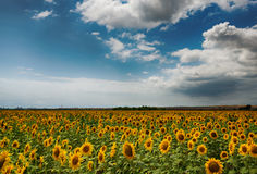 Cloudy daily landscape in the middle of summer. Sunflower field near the town of Burgas, Bulgaria. Daily landscape in the middle of summer. Sunflower field near Stock Photos