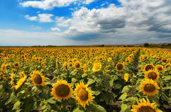 Cloudy daily landscape in the middle of summer. Sunflower field near the town of Burgas, Bulgaria. Daily landscape in the middle of summer. Sunflower field near Royalty Free Stock Photography