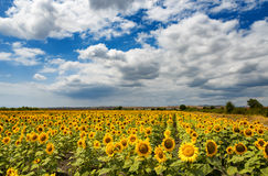Cloudy daily landscape in the middle of summer. Sunflower field near the town of Burgas, Bulgaria. Daily landscape in the middle of summer. Sunflower field near Stock Photography