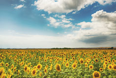 Cloudy daily landscape in the middle of summer. Sunflower field near the town of Burgas, Bulgaria. Daily landscape in the middle of summer. Sunflower field near Royalty Free Stock Photo