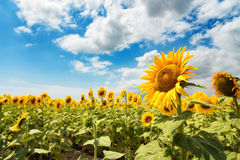 Cloudy daily landscape in the middle of summer. Sunflower field near the town of Burgas, Bulgaria Stock Images
