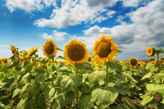 Cloudy daily landscape in the middle of summer. Sunflower field near the town of Burgas, Bulgaria Stock Photos