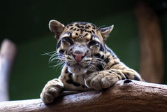 Cloudy leopard, big eyes of Big cat Royalty Free Stock Images