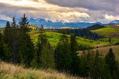Cloudy morning in Carpathian countryside. Lovely nature scenery with spruce forest and grassy hills royalty free stock photos