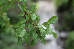 Cloudy rainy leaves. Photo of leaves of the apricot tree with dark green rain drops on a blurred background Stock Photography
