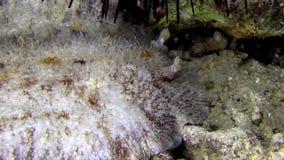 Cloudy sebadoris Sebadoris nubilosa  in Red sea stock video