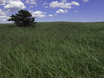 CLOUDY_SKY_DUNE_GRASS. An evergreen tree stands in a field of dune grass against a cloud-filled blue sky Royalty Free Stock Photography