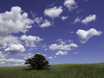 CLOUDY_SKY. An evergreen tree stands in a field of dune grass against a cloud-filled blue sky Stock Image