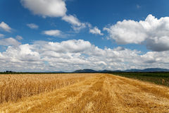 Cloudy sky over field of grain and corn. Summer time royalty free stock images