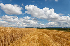 Cloudy sky over field of grain. Summer time Royalty Free Stock Photos