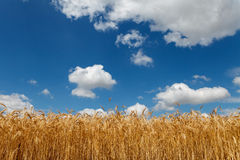 Cloudy sky over field of grain. Summer time stock photography