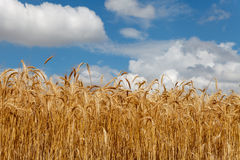 Cloudy sky over field of grain. Summer time royalty free stock images