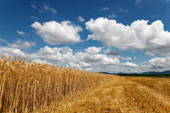 Cloudy sky over field of grain. Summer time stock images