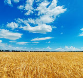 Cloudy sky over golden field Royalty Free Stock Images