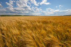 Cloudy sky over golden field. rain before. stock images