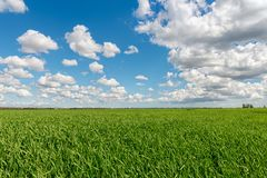 Cloudy sky over grain field Royalty Free Stock Images