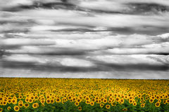 Cloudy sky over sunflowers field Royalty Free Stock Photos