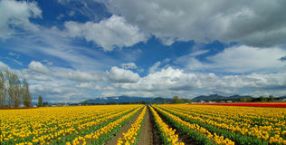 Cloudy Sky Over Tulip Field. Tulip Festival at Skagit Valley in Mount Vernon, WA Royalty Free Stock Image