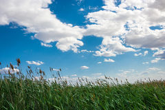Cloudy sky and tall reeds. Stock Photo