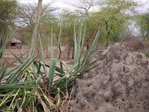 Trees in the desert. Cloudy sky in Tanzania, Africa, to meet adventures, safaris, Tarangiri, Ngorongoro, the mountains, Africa, Safari in Africa, Arusha, green stock images
