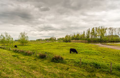 Cloudy sky and two dark brown grazing Galloway cattle Royalty Free Stock Photo