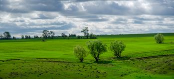 Cloudy spring landscape with group of trees growing on the edge of green agricultural field. royalty free stock photos