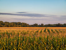 Cloudy Sunset 2 Over Rural Corn Crop Farm Field Royalty Free Stock Image