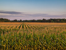 Cloudy Sunset 3 Over Rural Corn Crop Farm Field Stock Image