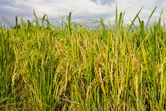 Cloudy with yellow rice paddy fields. Royalty Free Stock Photo