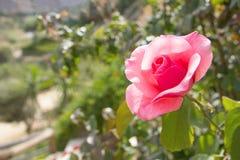 Cloue para arriba de la flor color de rosa en jardín Foto de archivo