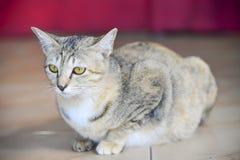 Clouo del gatto Fotografia Stock Libera da Diritti
