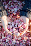 Clous de girofle d'ail dans des mains évasées avec la caisse d'ail à l'arrière-plan Photo libre de droits