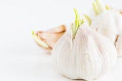 Clous de girofle d'ail de germination Photo stock